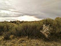White Desert Shrub. A white shrub amongst green shrubs in a California desert Royalty Free Stock Image