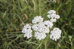 White detailed achillea millefolium in a green meadow stock image