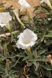 White devils trumpet flower, Datura stramonium Royalty Free Stock Image