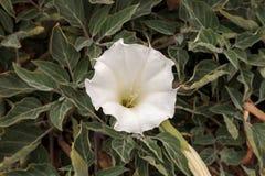 White devils trumpet flower, Datura stramonium Royalty Free Stock Photo