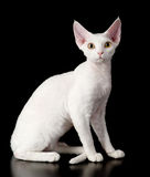 White devon rex cat. Royalty Free Stock Photography