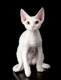 White devon rex cat. isolated on dark background Stock Image