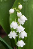 White Dew Bells Stock Photos
