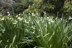 White Dewdrop flowers Stock Photo