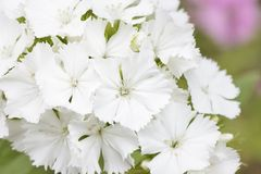 White Dianthus barbatus flowers Royalty Free Stock Photo