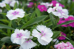 White Dianthus. Blooming in the garden Royalty Free Stock Images