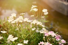 White Dianthus. Chinensis flower is species of Dianthus native stock images