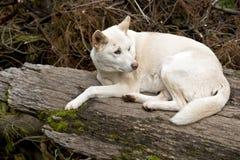 White dingo Stock Photos