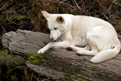 White dingo Royalty Free Stock Photo