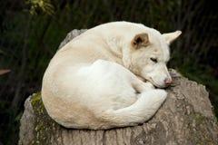 White dingo Stock Images