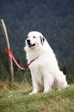 White dog. Siting on grass royalty free stock photos