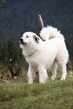 White dog. In nice pose Stock Photography