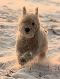 White dog. My white dog (white terrier) in winter sun Royalty Free Stock Image