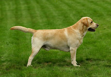 The white dog Royalty Free Stock Image