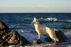 White dog. White swiss shepherd in the seaside Royalty Free Stock Photos