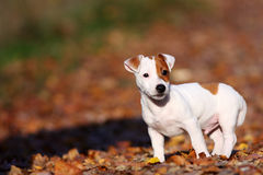 White dog Royalty Free Stock Photo