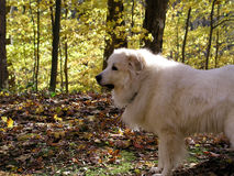 White Dog. In the woods Stock Photography