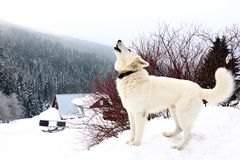 White dog. One white howling dog on mountains in winter Stock Image