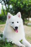 White dog Royalty Free Stock Image