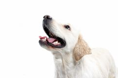 White dog. Portrait of white dog on white royalty free stock photo