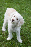 White dog Royalty Free Stock Photography