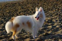 White dog 3. White dog on the beach royalty free stock photos