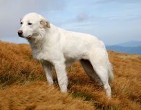 White dog. Beautiful landscape in green Crimean mountains and white dog Stock Images