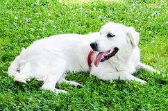 White dog Stock Image