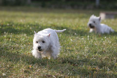 White Dog. Beautiful Dog in the park Stock Images