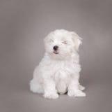 White dog. White Maltese puppy dog on gray background Royalty Free Stock Images