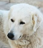 White dog. Watching to the camera Royalty Free Stock Photo