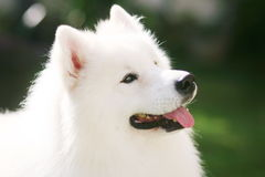 White dog. Adult samoyed in the park with smiling face Royalty Free Stock Image