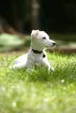 White dog. Dog is lying in the grass and alertly checking out something in the distance Royalty Free Stock Photography