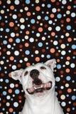 White dog against polka dot background.