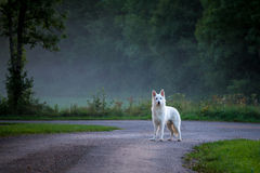 A white dog on a country road with mist Royalty Free Stock Images