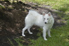 White dog Stock Photos