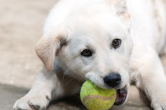 White dog baby playing in the courtyard stock images