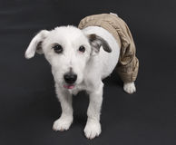 White dog in baggy pants Stock Images