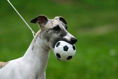 White dog with ball5 Stock Photo