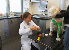 White dog with bandage at the veterinarian royalty free stock photo