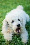 White dog barking Stock Photos