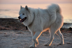 White dog. Is on the beach Royalty Free Stock Photo