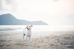 A white dog at the beach Stock Images