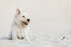 White dog on the beach. Cute white dog laying at the beach on a sunny day stock images