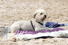 White dog on the beach Royalty Free Stock Photo