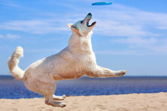 White dog on the beach. White Swiss Shepherd Dog on the beach Royalty Free Stock Images