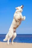 White dog on the beach Royalty Free Stock Photos