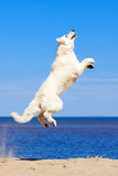 White dog on the beach Stock Images