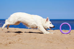 White dog on the beach Stock Photography