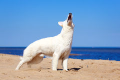White dog on the beach. White Swiss Shepherd Dog on the beach Royalty Free Stock Image